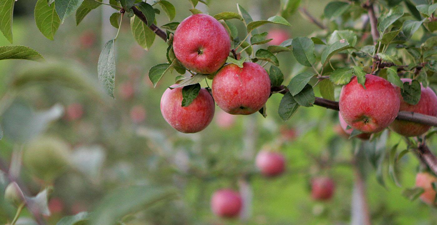 samen-appels-plukken-uit-de-boomgaard